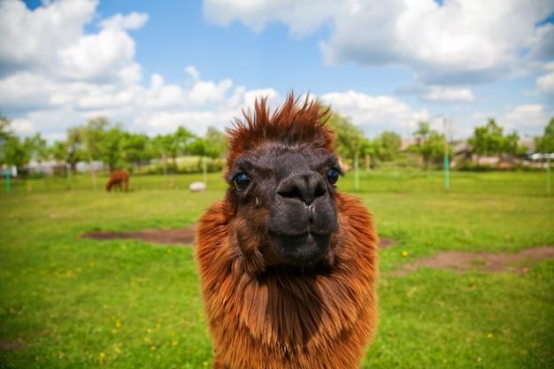 Porträt des lustigen niedlichen braunen alpakas auf einem feld Premium Fotos