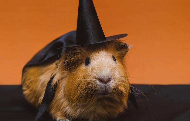 Porträt des netten roten meerschweinchens in halloween-kostüm. Premium Fotos