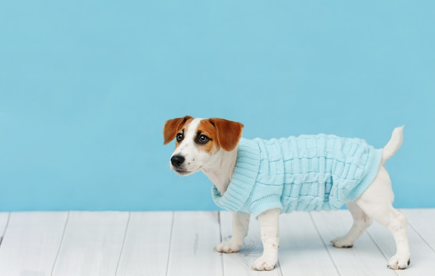 Porträt des netten welpen in gestrickten blusen, studiokurzschluss Premium Fotos