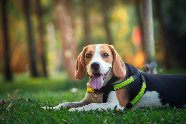 Porträt des netten welpenspürhunds im garten Premium Fotos