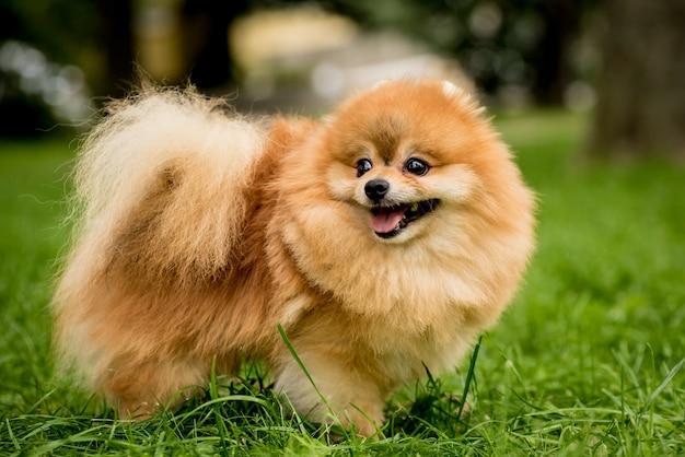 Porträt des niedlichen pommerschen hundes am park Premium Fotos