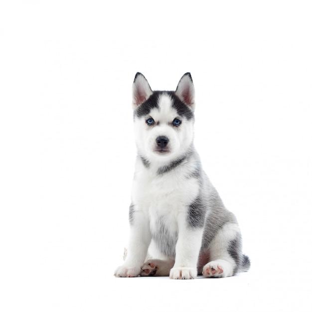 Porträt des niedlichen siberian husky hundes mit blauen augen, grauem und schwarzem fell, sitzend auf boden. lustiger kleiner welpe wie wolf. auf weiß isoliert. echter tierfreund. Kostenlose Fotos