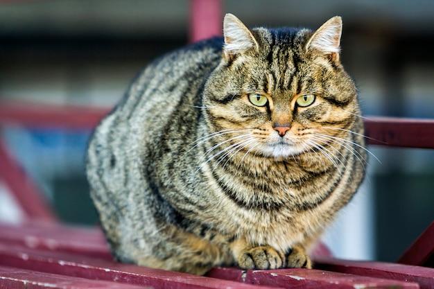Porträt einer fetten gestreiften katze mit grünen augen Premium Fotos