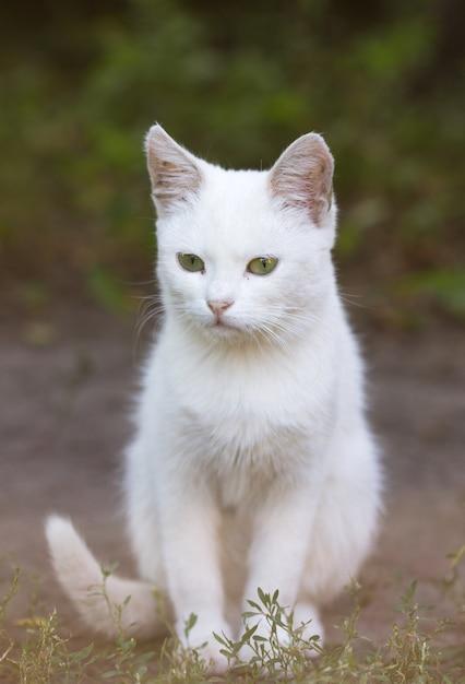 Porträt einer hauskatze der weißen farbe mit großen augen. weiße katze mit einer rosa nase. weißrussische katzenrasse. Premium Fotos