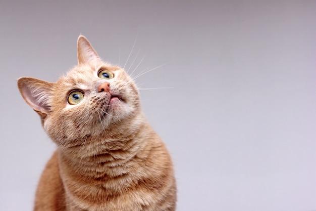 Porträt einer roten katze, die vorsichtig aufblickt Premium Fotos
