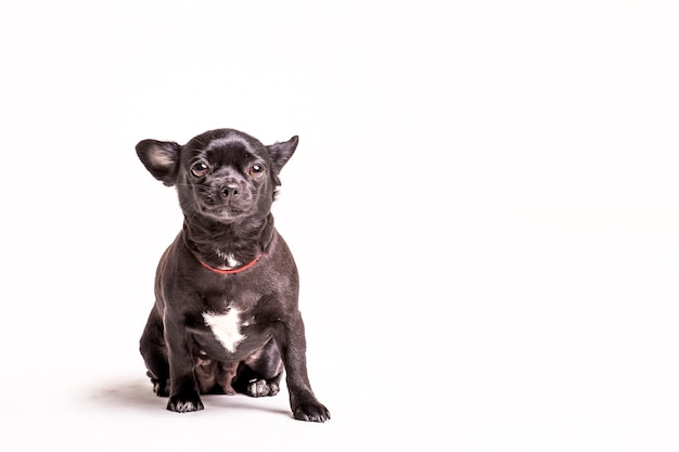 Porträt eines boston-terrierhundes auf weißem hintergrund Kostenlose Fotos