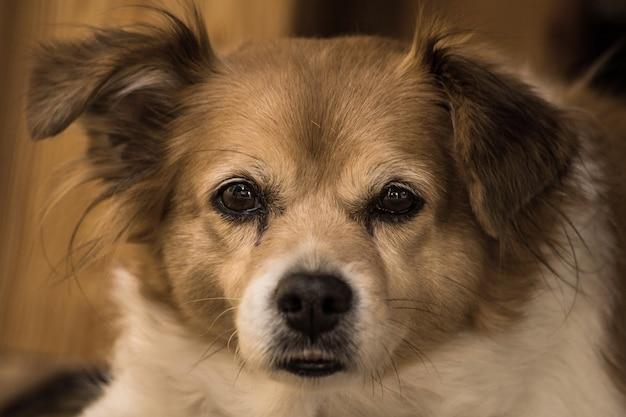 Porträt eines glücklichen netten braunen hundes, nahaufnahmegesicht Premium Fotos