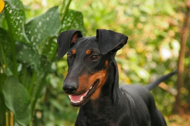 Porträt eines hundes manchester terrier Premium Fotos
