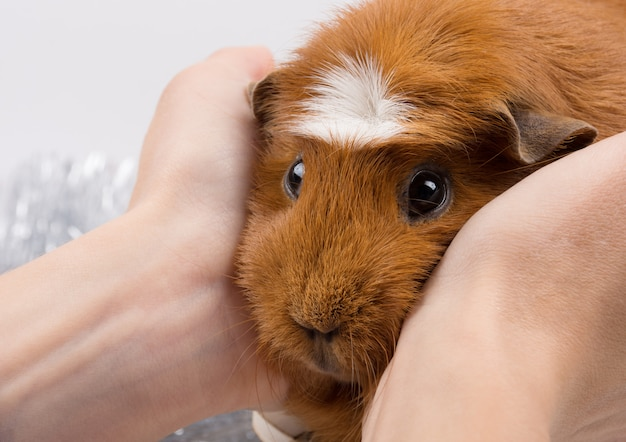 Porträt eines lustigen meerschweinchens in den menschlichen händen Premium Fotos