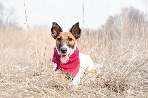Porträt eines netten glatten foxterriers. glücklicher lächelnder welpe im bandana genießt die zeit, die auf das gras an einem schönen frühlingstag legt Premium Fotos