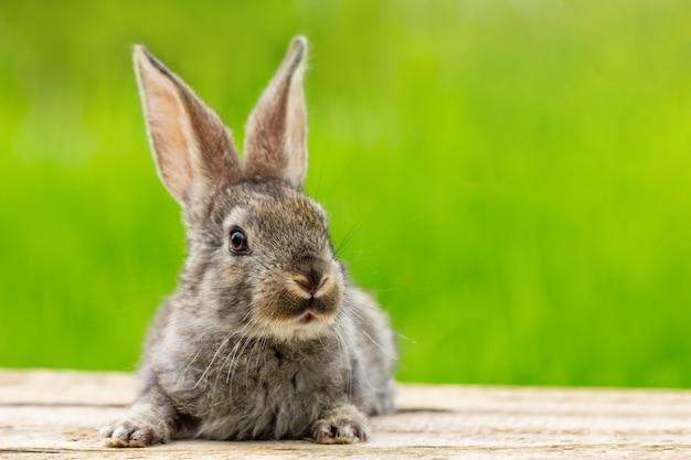 Porträt eines niedlichen flauschigen grauen kaninchens mit ohren auf einem natürlichen grün Kostenlose Fotos