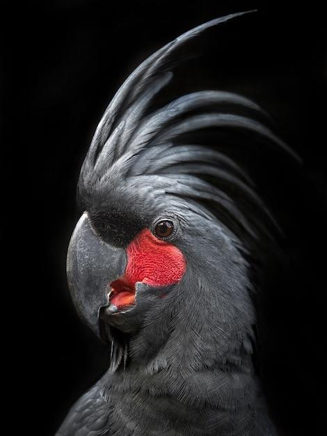 Porträt eines schwarzen kakadus Premium Fotos