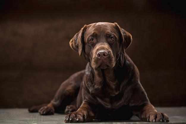 Porträt eines schwarzen labrador-hundes vor einem dunklen hintergrund. Kostenlose Fotos