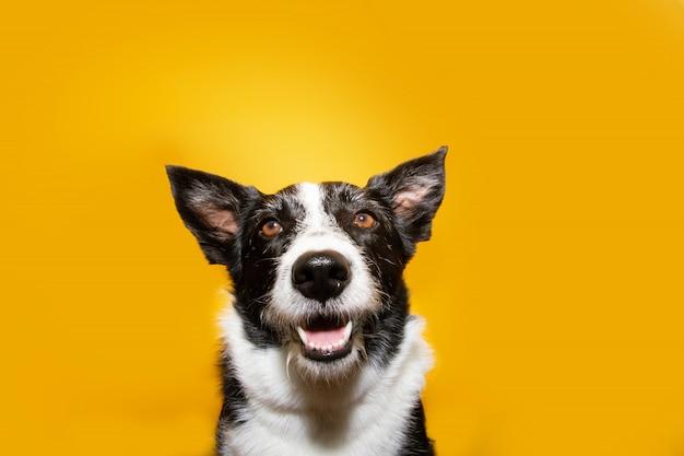 Porträt glücklich border collie hund. Premium Fotos
