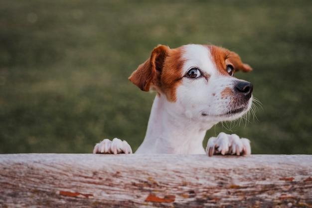 Porträt netten kleinen jack russell-terriers, der auf zwei tatzen auf dem gras in einem park steht Premium Fotos