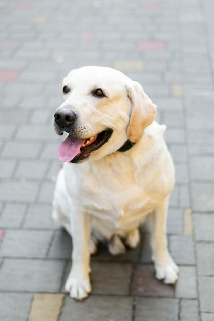 Porträt von entzückendem labrador im freien Kostenlose Fotos