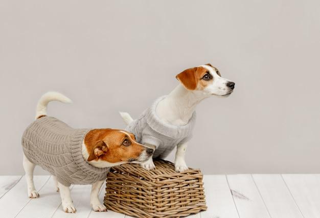 Porträt von netten hunden in gestrickten blusen, in studiofoto von jack russell-welpen und von seiner mutter. freundschaft, liebe, familie. Premium Fotos