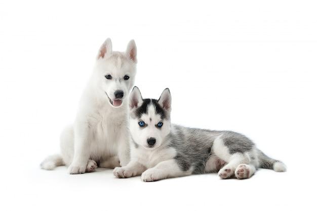 Porträt von zwei niedlichen und lustigen kleinen welpen des siberian husky-hundes, mit weißem und grauem fell und blauen augen. kleine hunde sitzen auf dem boden und posieren, interessant aussehend. auf weiß isolieren. Kostenlose Fotos