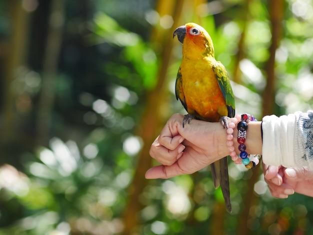 Portrait des bunten gelben macawpapageien auf dem arm Premium Fotos