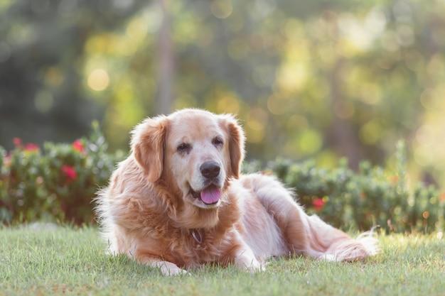 Portrait des goldenen retriver hundes Premium Fotos