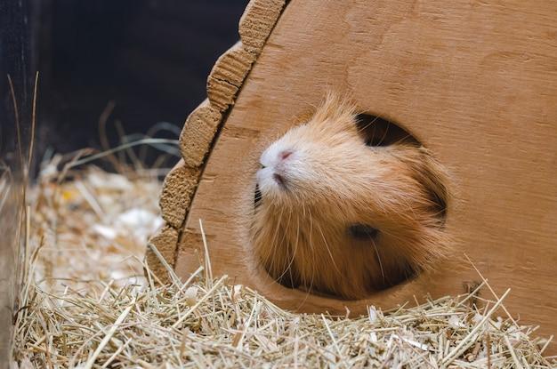 Portrait des netten roten meerschweinchens. Premium Fotos