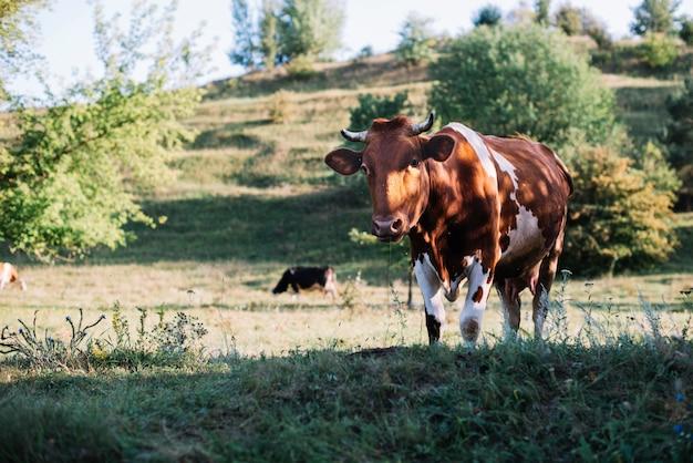 Portrait einer kuh, die auf dem gebiet weiden lässt Kostenlose Fotos