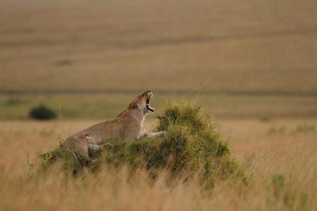 Prächtige löwin, die auf einem grasbedeckten hügel brüllt Kostenlose Fotos