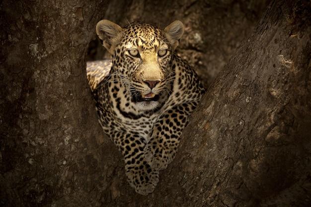 Prächtiger afrikanischer leopard, der auf dem ast eines baumes im afrikanischen dschungel liegt Kostenlose Fotos