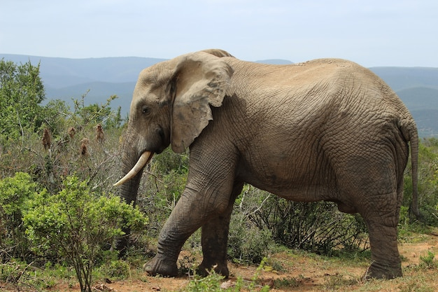 Prächtiger schlammiger elefant, der in der nähe der büsche und pflanzen im dschungel herumläuft Kostenlose Fotos