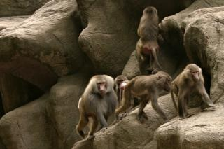 Primaten Kostenlose Fotos