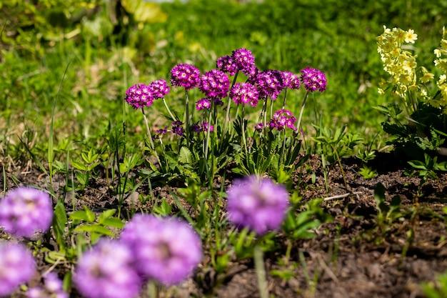 Primel primel mit violetten blüten. inspirierend natürlicher blumenfrühling oder blühender garten oder park des sommers unter weichem sonnenlicht und unscharfem bokeh hintergrund. bunte blühende ökologienaturlandschaft Premium Fotos