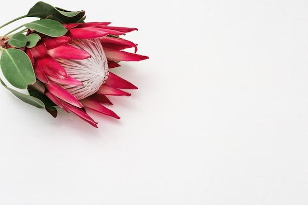 Proteablume, große schöne anlage auf leuchtpult. Premium Fotos