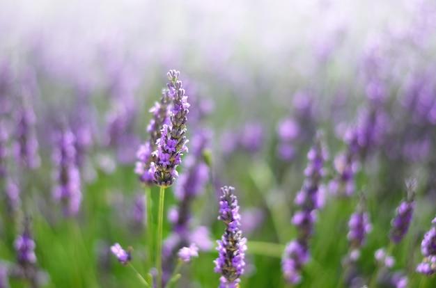 Provence natur. lavendelfeld im sonnenlicht mit kopienraum. makro von blühenden violetten lavendelblumen. sommerkonzept, selektiver fokus Premium Fotos
