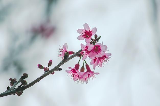Prunus cerasoides sind in der natur wunderschön rosa. im norden von thailand blüte im januar Premium Fotos