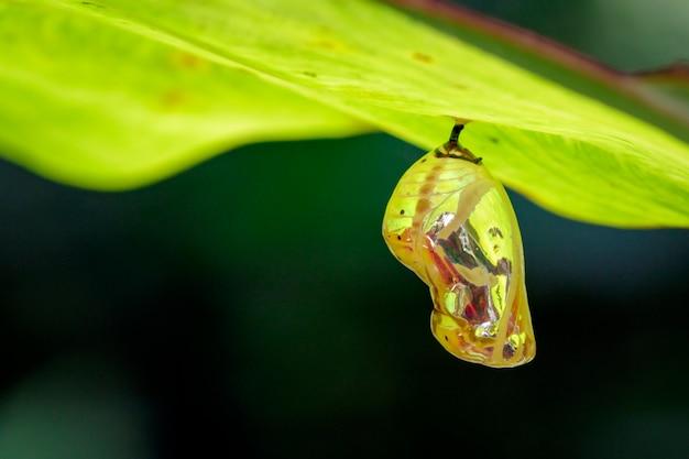 Puppenschmetterlingspuppe, die unter den grünen blättern hängt. insekt, tier. Premium Fotos