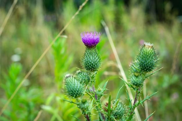 Purpurrote blume der klette auf dem gebiet. medizinische pflanzen. Premium Fotos