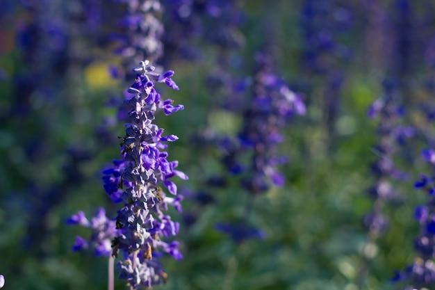 Purpurrote blumen des purpurroten salvia, zierpflanzen springen auf schlechter beleuchtung. Premium Fotos