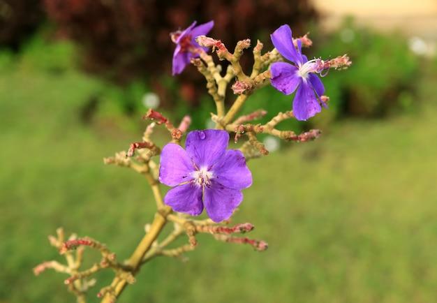Purpurrote blumen mit wassertröpfchen auf osterinsel, chile, südamerika Premium Fotos