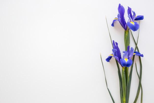 Purpurrote irisblumen an lokalisiert auf weißem hintergrund Kostenlose Fotos