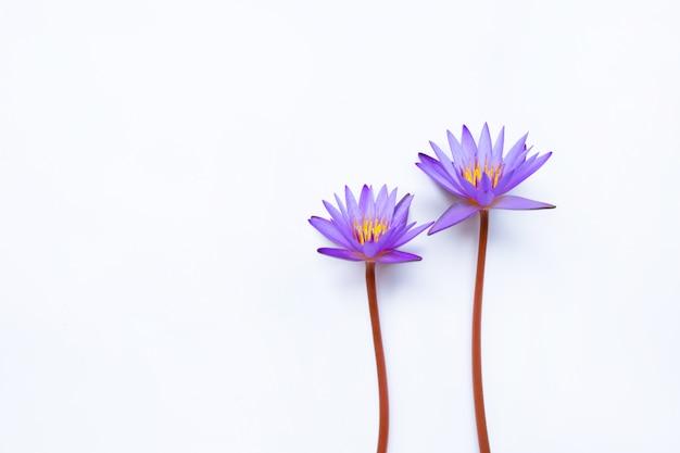 Purpurrote lotosblume, die auf weiß blüht. Premium Fotos