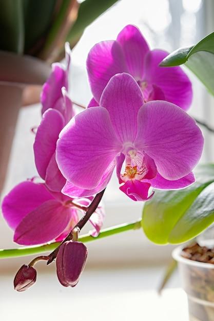 Purpurrote orchideenblütenblume exotische houseplantblüte. Premium Fotos