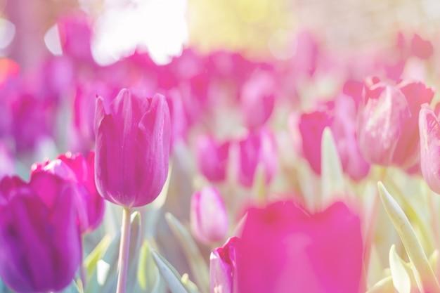 Purpurrote tulpe im garten. Premium Fotos