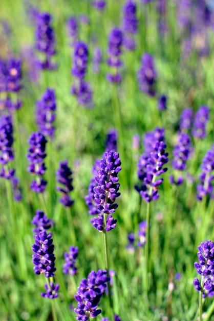 Purpurrote, wohlriechende und blühende knospen des lavendels blüht an einem sonnigen tag. Premium Fotos