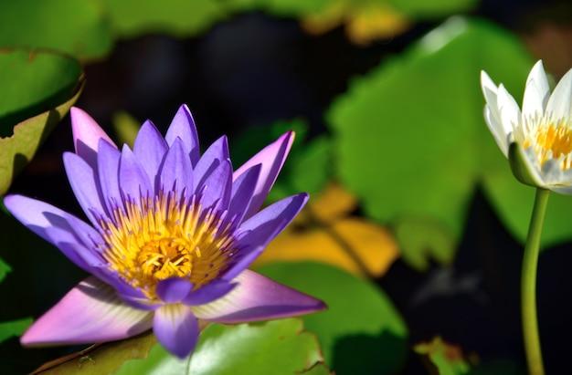 Purpurroter lotos in der natur auf blattlotoshintergrund Premium Fotos