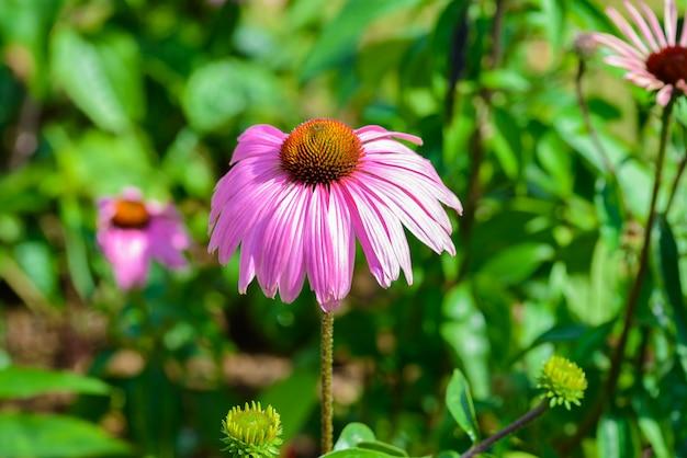 Purpurroter sonnenhut (echinacea purpurea) ist eine beliebte pflanze, um die honigbiene anzuziehen Premium Fotos