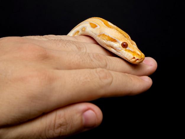 Python molurus bivitattus ist eine der größten schlangenarten. Premium Fotos