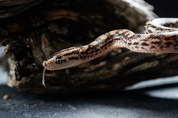 Pythonschlange mit der zunge raus im studio. Premium Fotos