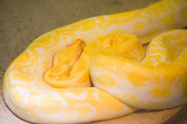 Pythonschlangengelb, das auf dem boden liegt Premium Fotos