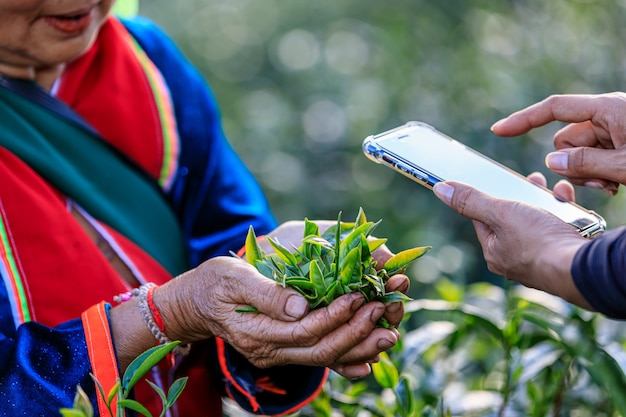 Qualitätsprüfung teeblätter. ein foto mit einem smartphone machen Premium Fotos