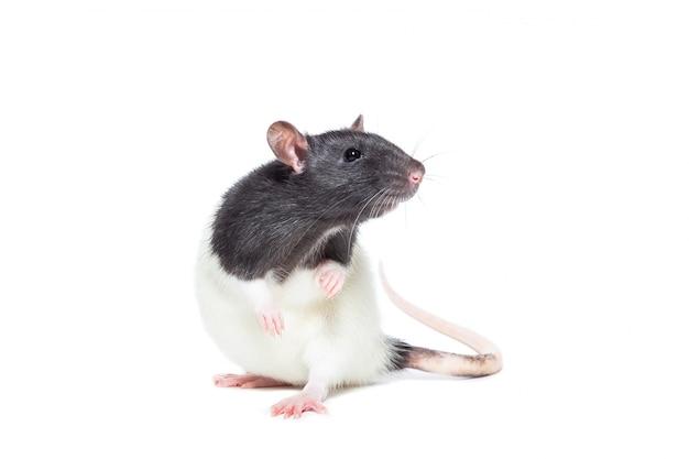 Ratte auf weißem hintergrund Premium Fotos